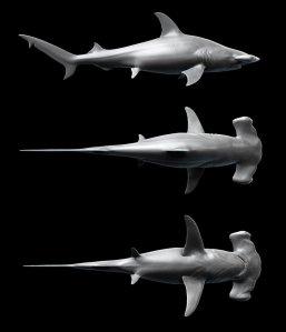 hammerhead_shark___sphyrna_mokarran_by_kimsuyeong81-d5ckw8x