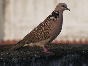 440px-India_Dove