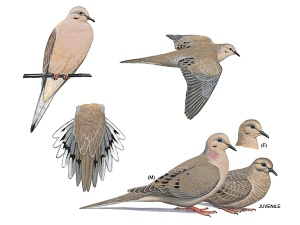mourning-dove_16876_600x450