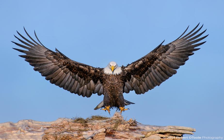 4245840-eagle.jpg