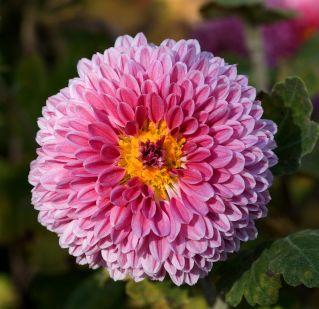 1200px-Chrysanthemum_morifolium_08NOV
